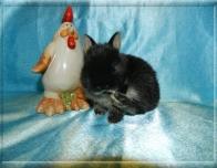 10. Мальчик(Нидерландский) 01.12.20 г.р.-11.000руб   Окрас: черный оттер. Самые маленькие кролики!