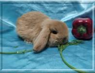 12.Мальчик (Мини лоп) 01.07.20.р-10.000руб    Окрас: тюрингенский. Самые милые вислоухие кролики!