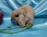 13. Мальчик (Мини лоп) 01.07.20.р-10.000руб Окрас: тюрингенский. Самые милые вислоухие кролики!