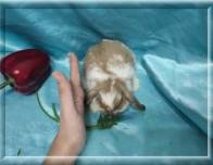 14. Мальчик (Карликовый барашка) 02.07.20г.р-6000руб Окрас: плащевой, глаза карие.