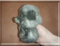 2.Мальчик  (Чистопородный Мини лоп) 30.01.21 г.р -10.000руб    Окрас: сиамский. Самые маленькие кролики!!! Очень добрый и ручной!!!