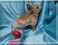 5. Девочка (карликовый рекс) 01.09.20г.р-6.500руб    Окрас: красный. Самые плюшевые кролики.