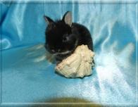 6.Мальчик(Нидерландский) 01.12.20 г.р.-11.000руб   Окрас: черный оттер. Самые маленькие кролики!