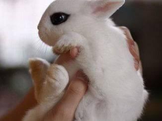 Размер и вес карликового и декоративного кролика