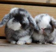 Покупка карликового кролика