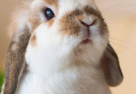От чего зависит стоимость карликового крольчонка и почему цена на крольчат такая разная? Карликовые кролики цена.