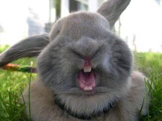 Почему декоративный кролик кусается, агрессия у кроликов