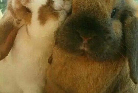 Половое созревание декоративных кроликов