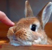 Вислоухий кроликзачем кролик лижет все