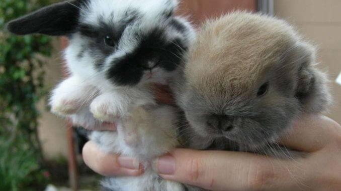 Продаются карликовые крольчата