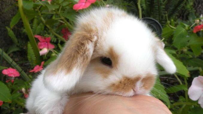 Адаптация декоративного кролика на новом месте