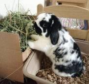 Красная моча у декоративного кролика