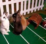 Декоративные кролики -вопрос/ответ - часть 1