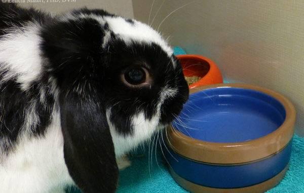 Декоративный кролик убирает за собой с помощью маленького пылесоса