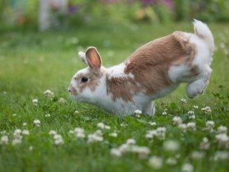 Блохи, клещи, власоеды у декоративных кроликов