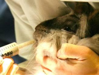 Насильственное кормление кролика из шприца