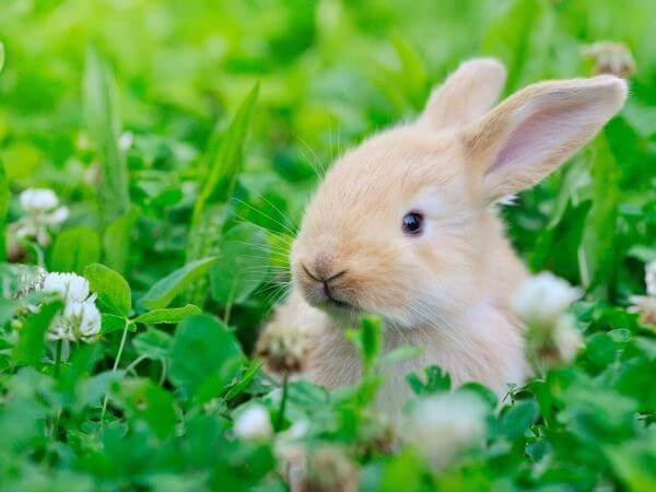 Можно ли декоративным кроликам клевер