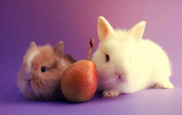Можно ли декоративным кроликам груши