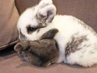 Можно ли декоративным кроликам картошку