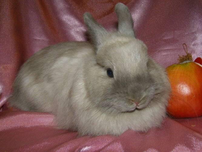 Декоративные кролики фото породы лисьи
