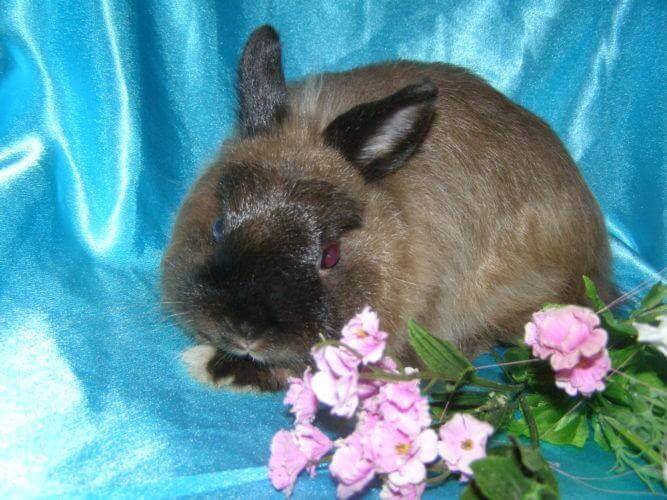 Декоративные кролики фото породы карликовый лисий