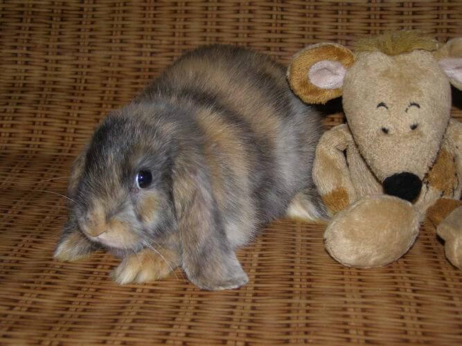 Декоративные кролики фото породы карликовый баран