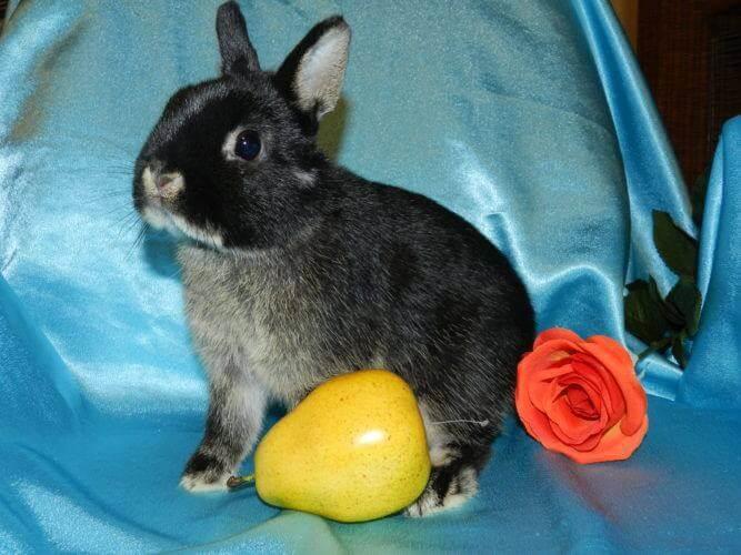 Декоративные кролики фото породы нидерландские