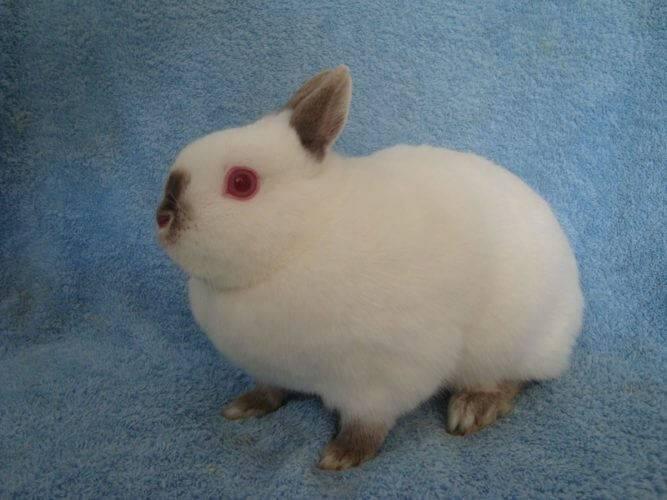 Декоративные кролики фото породы цветной карлик