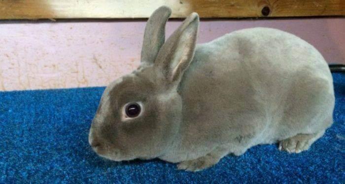 Декоративные кролики фото породы рекс