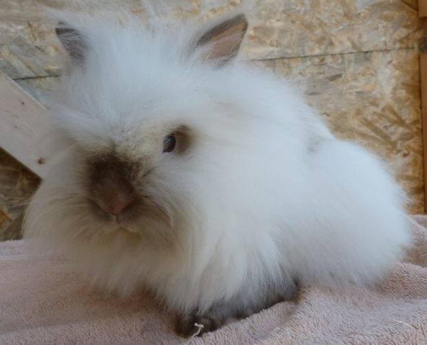 Декоративные кролики фото породы ангорские