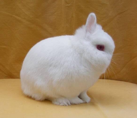 Декоративные кролики фото породы гермелин