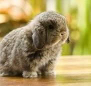 Декоративные кролики -вопрос/ответ — часть 3