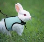 Шлейки для декоративных кроликов - как правильно выбрать и приучить