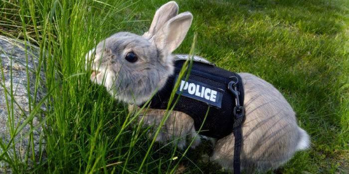 Как и где лучше выгуливать кролика на шлейки