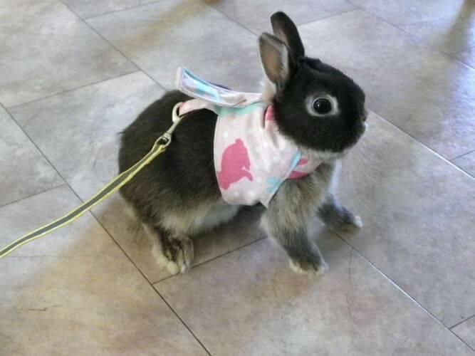 Как приучить кролика к шлейки