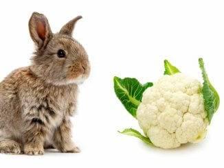 цветная капуста для кроликов