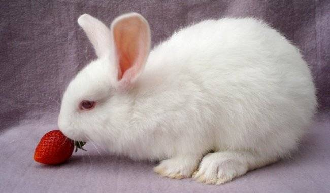 Можно ли кроликам давать клубнику