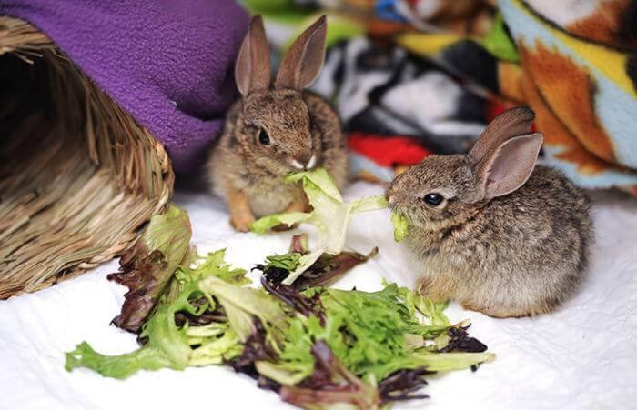 Можно ли декоративным кроликам салат