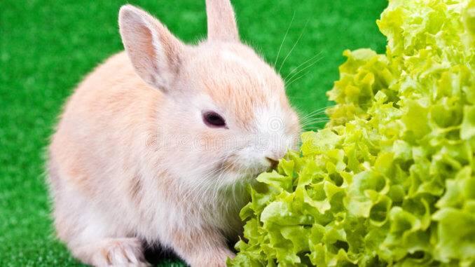 Можно ли декоративным кроликам салат?