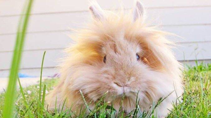 Почему у декоративного кролика горячие уши?
