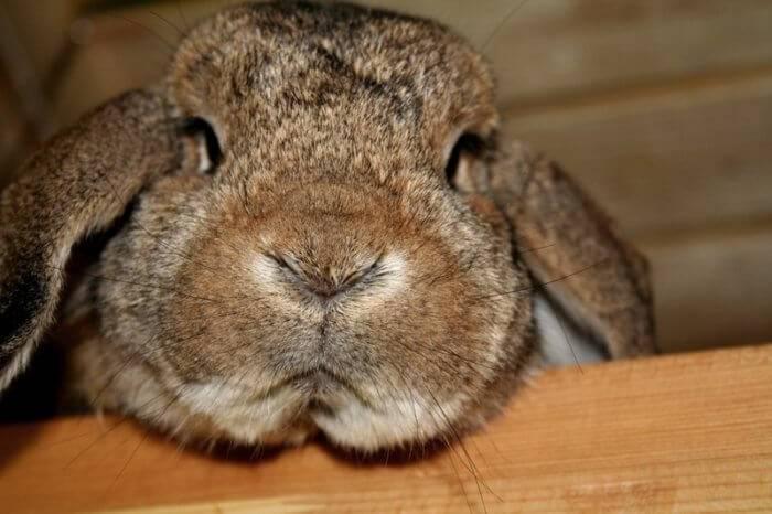 Почему у декоративного кролика горячие уши