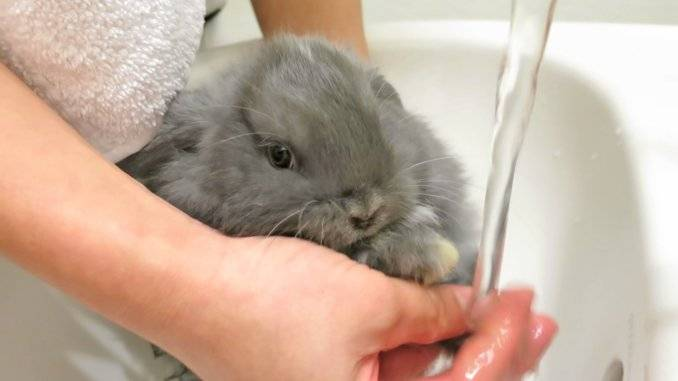 Как мыть декоративного кролика