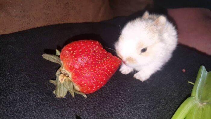 Можно ли  декоративным кроликам давать клубнику