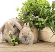 Можно ли давать декоративным кроликам шпинат?