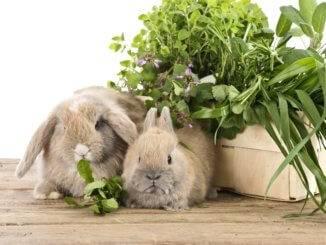 Можно ли давать декоративным кроликам шпинат