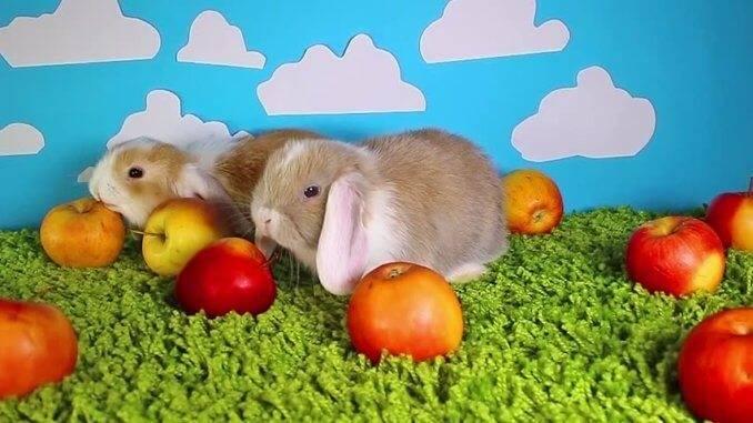 Можно ли декоративным кроликам давать яблоки