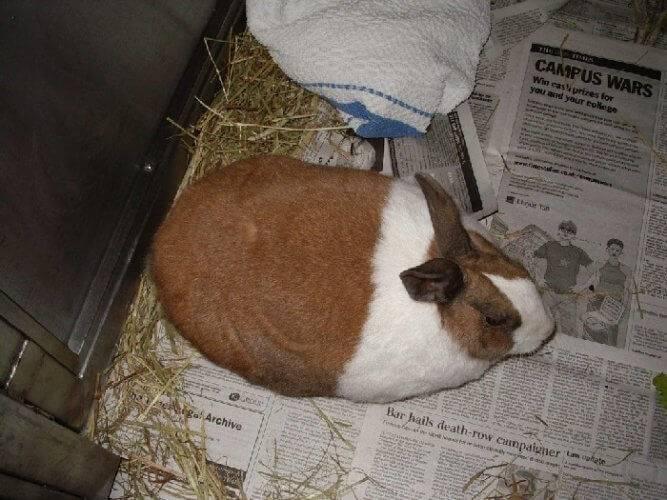Фото декоративных кроликов с ожирением