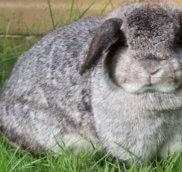 Ожирение у декоративных кроликов