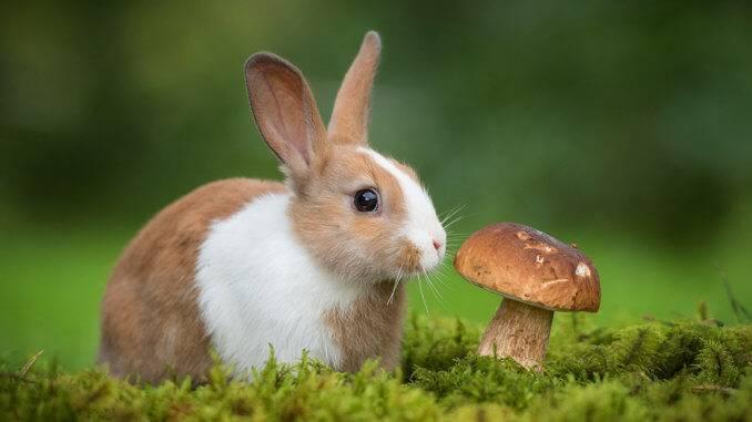 Можно ли декоративным кроликам грибы