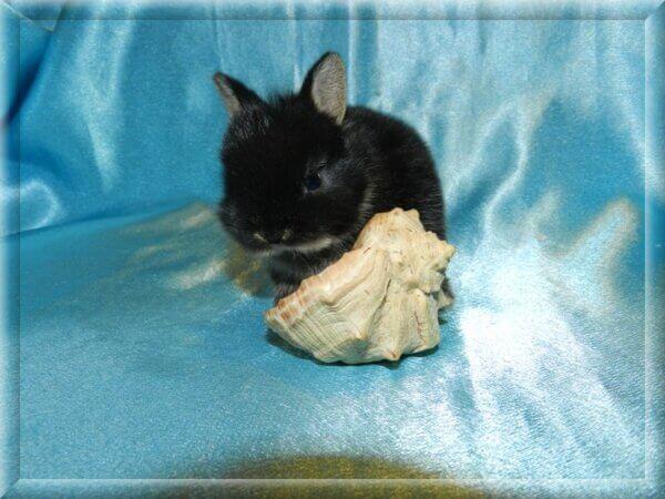 Порода: Чистопородный Нидерландский карликовый кролик Окрас: черный оттер, глаза карие. Описание: Самая маленькая и редкая порода кроликов! Пол и дата рождения: , 04.04.21г.р. Когда можно забрать кролика: декоративный кролик на продажу готов, ужепривит,проглистогонен и приучен к поилке. СТАТУС: ЕСТЬ В ПРОДАЖЕ Контакты: 8-906-743-42-31 Надежда